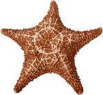 Sea stars (group name Stelleroidea) are sometimes called starfish, though they are not real fish (they lack both vertebrae and fins). There are two sub-types of sea stars:    Asteroideas are the true sea stars and sun stars.  Ophiuroideas are brittle stars and basket stars.