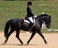 SAGUENAY EVE YUKON JOSPATRIOTE, Canadian stallion owned by CanaDream farm