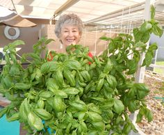 Have you heard of aquaponics? Aquaponics Combines the Growing of Fish and Plants You may grow plants in water and without soil and once one does this together with growing fish you are practicing aquaponics. Aquaponics Greenhouse, Aquaponics System, Hydroponics, Growing Tomatoes, Growing Plants, Growing Vegetables, Different Plants, Plant Growth, Throughout The World