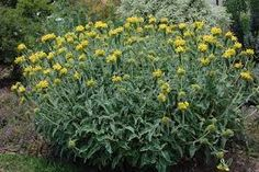 Phlomis fruticosa. a small spreading evergreen shrub, the erect shoots bearing sage-like, grey-green ovate leaves to 12cm in length. Flowers 3cm in length, hooded, deep yellow, in whorls in the upper leaf axils from early summer