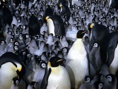 "natgeofound: ""Emperor penguin chicks huddle for warmth with other chicks and adults in Antartica, September Photograph by Frank Kazukaitis, National Geographic "" Penguins And Polar Bears, Baby Penguins, Beautiful Birds, Animals Beautiful, Cute Animals, Penguin Pictures, Bird Pictures, Penguin Love, Penguin Parade"