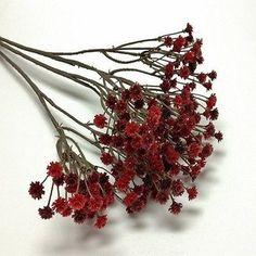 Babys Breath Red Flower Seeds (Gypsophila Elegans Crimson) 100 Seeds