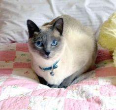 Siamese- looks just like Mystique. RIP.