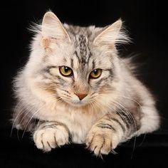 18 extrañas razas de gatos de las que nunca habías escuchado