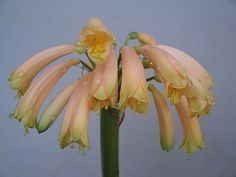 Interspecific clivia plant first flower