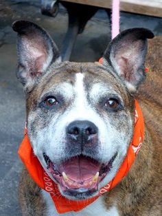 TO BE DESTROYED - MONDAY - 03/24/14, Manhattan Center   NEFFERTITI - A0993995   FEMALE, BR BRINDLE / WHITE, PIT BULL MIX, 13 yrs OWNER SUR - EVALUATE, NO HOLD Reason OWN EVICT  Intake condition NONE Intake Date 03/14/2014, From NY 10025, DueOut Date 03/14/2014, I came in with Group/Litter #K14-170745.  https://www.facebook.com/photo.php?fbid=772656959413852&set=a.617942388218644.1073741870.152876678058553&type=3&theater