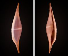 Rose Spindle Cowrie (Phenacovolva rosea)