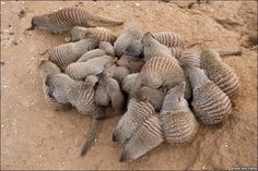 Banded Mongoose have a very  social lifestyle ...  Group of banded mongooses