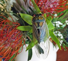Australian Cicada photographed in New South Wales by Michael Jefferies