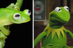 Everything You Need To Know About The Newly Discovered Frog That Looks Like Kermit