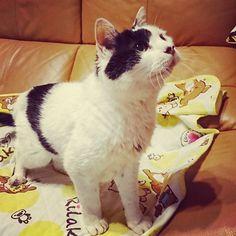 やる気満々なパンコ🐱 上に猫じゃらしあります。 #panko #cats #lovemycat #monday #パンコ #愛猫 #にゃんこ #ねこ #月曜日 #ひげ