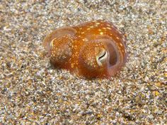 Un pequeño y adorable calamar - Tropical Bobtail Squids Are Actually Tiny, Insanely Cute Orange Blobs