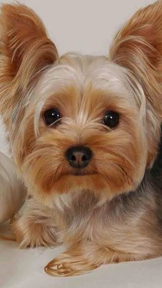 Kelsey-LOCAL ONLY! is an adoptable Yorkshire Terrier Yorkie searching for a forever family near Saint Louis, MO. Use Petfinder to find adoptable pets in your area. Yorkies, Yorkie Puppy, Yorkie Cut, Baby Yorkie, Teacup Chihuahua, Maltipoo, Yorky Terrier, Yorshire Terrier, Bull Terriers