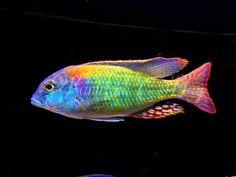 362 Best Aquarium Cichlids Images Fish Tanks Freshwater Aquarium