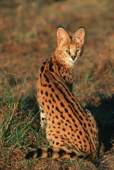 Serval inhabits grasslands of sub-Saharan Africa. Warrior Cats, Rare Animals, Animals And Pets, Beautiful Cats, Animals Beautiful, Serval Cats, African Serval Cat, Small Wild Cats, Exotic Cats