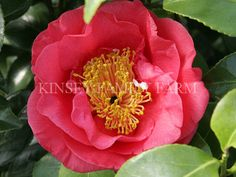 Altheaiflora Camellia japonica. Spring flowering red peony. Kinsey Family Farm Gainesville, GA.