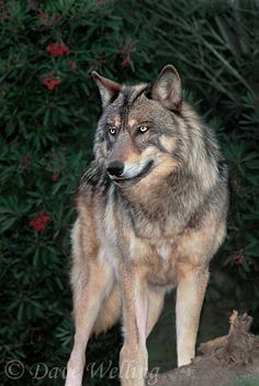 Copyright © Dave Welling -  a captive wildlife rescue gray wolf canis lupus stands on a small hill in his enclosure at a rescue facility - species is endangered in the wild and is native to north america windwalker