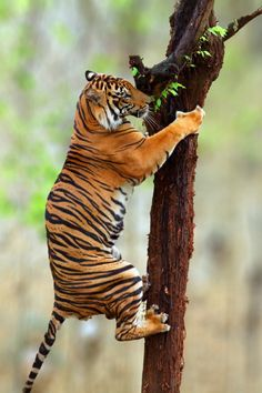 Tiger climb and cant believe these beautiful cats are almost extincted Beautiful Cats, Animals Beautiful, Big Cats, Cats And Kittens, Jaguar, Grand Chat, Animals And Pets, Cute Animals, Gato Grande