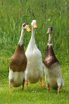 I love my call ducks but one day will add runner ducks to my flock too