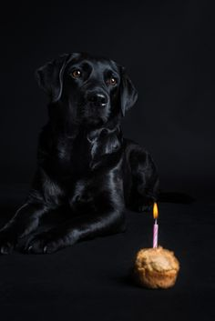 Shooting Juli — Pfotentick – Black Labrador – Happy Birthday – #labrador #lab…
