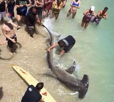 Hammerhead Shark caught ( and released :) ) off pier in Florida measuring 13-feet
