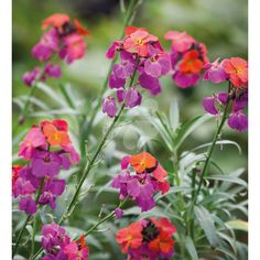 """Erysimum 'Winter Orchid' is my new favourite plant, which I now have in pots outside my back door. It flowers almost all year - honestly - and unlike traditional perennial wallflowers, its flowers are scented like the biennial forms."""