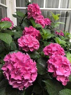 Willkommen in meinem Rosengarten - sugar&rose Vegetables, Flowers, Plants, English Roses, Roses Garden, Hibiscus, Lilac, Vegetable Recipes, Plant