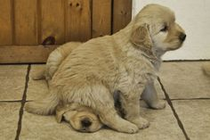 Funny pictures about Just a puppy sitting on another puppy's head. Oh, and cool pics about Just a puppy sitting on another puppy's head. Also, Just a puppy sitting on another puppy's head photos. Cute Puppies, Cute Dogs, Dogs And Puppies, Doggies, Funny Dogs, Silly Dogs, Baby Dogs, Chubby Puppies, Labrador Puppies