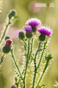 Many of the weeds you can eat can be found right in your yard, around your driveway, beside roads, etc. We'll be talking about 5 common weeds that are edible in this article. #edibleweeds #survivalfood #survival #preparedness #survivallife