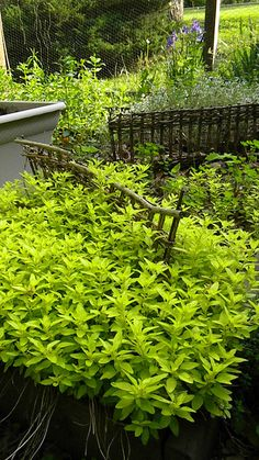 oregano...love the lime green foilage...going to plant in a pot this year.