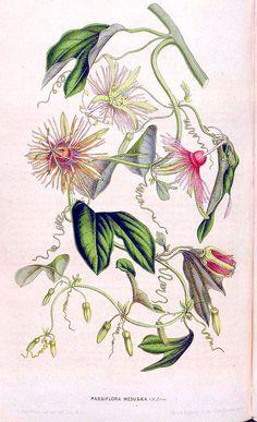 Passion flower vine. Passiflora jorullensis (1849)