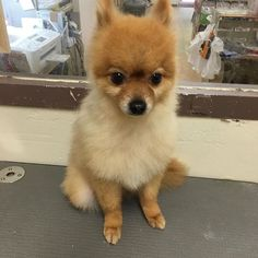 ポメラニアンのだいずくん♡またシャンプーに来てくれました✨いつもどおりとってもいい子でした  #ペットショップ広商#ペットショップ#トリミング#ポメラニアン#愛犬#犬#可愛い#ポメ#品川#東京#Pomeranian#dog#tokyo#shampoo#cute