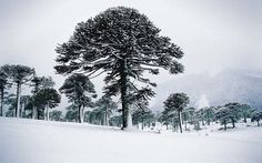 The monkey puzzle trees make a uniquely beautiful attraction in Chile.