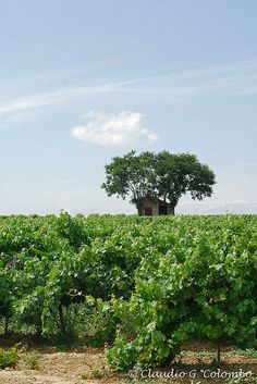 Vineyard in Languedoc-Roussillon (France) | by clodio61