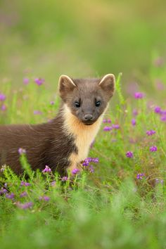 PINE MARTEN. The pine marten is a large member of the weasel family. Its preferred habitat is thick woodland or rocky hillsides, with dens frequently made in hollow logs or rock crevices. Found throughout Europe, in Britain they are primarily concentrated in the Scottish highlands and Grampians, with smaller populations in parts of northern England and Wales.
