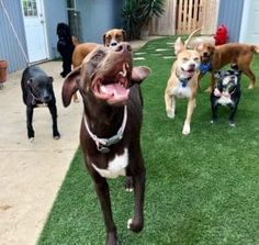 Use Artificial Turf to Increase Your Dog Daycare Business Artificial Grass For Dogs, Artificial Turf, Opening A Daycare, Pet Grass, Starting A Daycare, Home Daycare, Field Of Dreams, Labrador Retriever, Pet Dogs