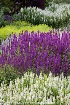 WOODLAND//MEADOW SAGE 6 X SALVIA NEMOROSA CARRADONNA PERENNIAL PLUG PLANTS