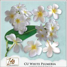 CU White Plumeria (Frangipani) | CU/Commercial Use #digital #scrapbook design tools at CUDigitals.com #digitalscrapbooking