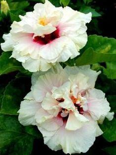 roses de porcelaine et arums plantes et fleurs exotiques pinterest fleurs exotiques. Black Bedroom Furniture Sets. Home Design Ideas
