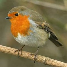 robin bird pictures - Bing images