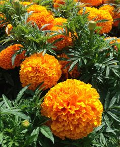A gorgeous block of vibrant orange in the Mohonk Mountain House crayon box display gardens...
