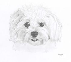 Maltese Terrier Dog Portrait Limited Edition Drawing Art Print by English Artist | eBay