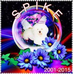 I love you... #spikebichon