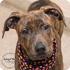 I am at a kill shelter in Troy, OH - Pit Bull Terrier Mix. Meet Kadie, a dog for adoption. http://www.adoptapet.com/pet/14627169-troy-ohio-pit-bull-terrier-mix