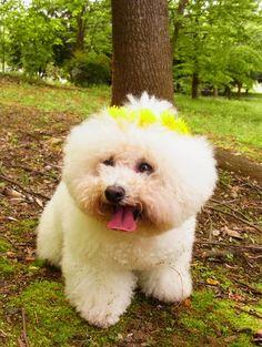 Bichon Frise wedding dog Toni Kami ❀Flowers in their coats❀