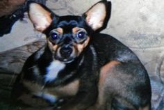 """The family of an elderly man who was killed in a car accident on Interstate 79 near Zelienople, Pennsylvania, on Easter Sunday are searching for a small dog who disappeared after the crash, reported Tuesday's CBS Pittsburgh. The six-year-old Chihuahua named """"Baby,"""" ran away after 79-year-old Elmer Goettel's truck overturned near the Zelienople exit.  The deceased man's daughter-in-law, Fran Zuke, told CBS Pittsburgh that the dog was seen after the crash:"""