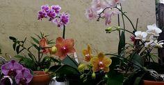 Pequeño manual con consejos para cultivar orquídeas en casa. Fotos y datos técnicos