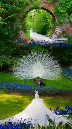 beautiful picture with peacocks, full of harmony and perfect color Most Beautiful Birds, Pretty Birds, Beautiful Pictures, Beautiful Wall, Exotic Birds, Colorful Birds, Beautiful Creatures, Animals Beautiful, Albino Peacock