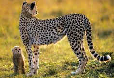 A cheetah mother and her cub overlook their home territory in this beautiful photograph.