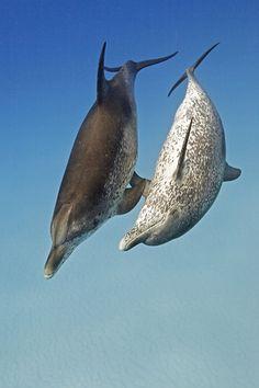 #Bottlenose #Dolphins  by Goos van der Heide